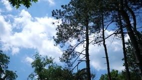 Afternoon Timelapse of clouds rolling by tall conifer trees in nature park.  stock video footage