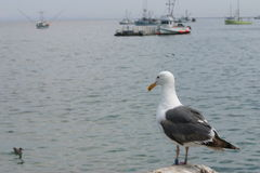 Afternoon watch. Sea gull standing by ocean with fishing boats in background stock photos