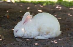 Afternoon white rabbit relax in garden. Afternoon and white rabbit relax in garden royalty free stock photos