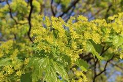 Afton för lönninflorescence på våren Arkivfoton