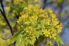 Afton för lönninflorescence på våren Royaltyfri Bild