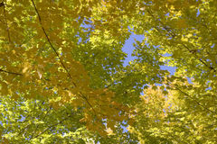 Afton fall. Tree in the midst of fall royalty free stock images