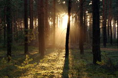 Afton i skogen. Arkivbild