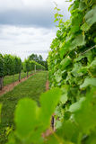 Afton Mountain Vineyard Trellis Stock Photo