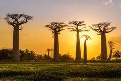 Afton på Baobabavenyn arkivfoton
