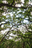 Afton willi ogródów drzewa wierzchołka baldachim Obraz Stock