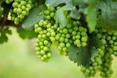 Afton winnicy Halni winogrona Zdjęcia Stock