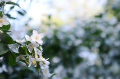 aftonen blommar jasminen Arkivbild