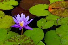 Aftonen Waterlily ljusnar trädgårddammet royaltyfri foto