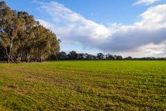 Aftonljus över grönt fält med eukalyptusträd Arkivbild