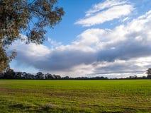 Aftonljus över grönt fält med eukalyptusträd Royaltyfria Bilder