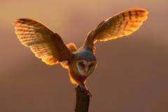 Aftonljus med fågeln med öppna vingar Handlingplats med ugglan Ugglasolnedgång Landning för ladugårdugglan med spridning påskynda Arkivbild
