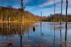Aftonljus på ett sumpigt område i Calvert Cliffs State Park, längs Chesapeakefjärden i Maryland Royaltyfria Bilder