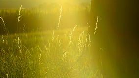 Aftonlynne, grässtrån och träd stock video