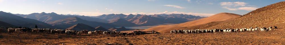 Aftonpanoramautsikt av getter och sheepsflocken Arkivfoto
