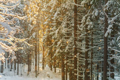 Aftonsol i skogen Royaltyfria Bilder