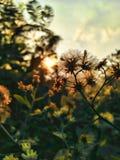 Aftonsol med blommor för solnedgång Royaltyfria Foton