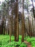 Aftonväg i en mystisk pinjeskog Arkivfoto