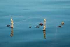 Afwisselende water-duizendblad bloeiwijze royalty-vrije stock foto
