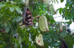 Afzelia xylocarpa荚和种子 免版税库存图片