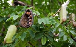 Afzelia xylocarpa ziarno na drzewie i strąk Obrazy Stock