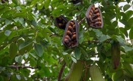Afzelia xylocarpa ziarno na drzewie i strąk obrazy royalty free