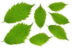 Afzonderlijke groene bladeren op de achtergrond Stock Fotografie