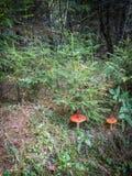 Agárico de la mosca del champiñón en el bosque Fotografía de archivo
