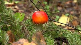 Agárico de la mosca del champiñón en el bosque 4K almacen de video