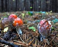Agárico de mosca rojo manchado hermoso tres en un claro del bosque Imagen de archivo