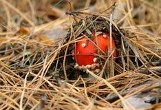 Agárico rojo de la mosca del champiñón Fotografía de archivo libre de regalías