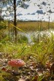 Agárico venenoso hermoso de la mosca del champiñón en un fondo de arbustos y de los lagos Imagen de archivo libre de regalías