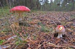 Agáricos de mosca en el bosque Imagen de archivo libre de regalías