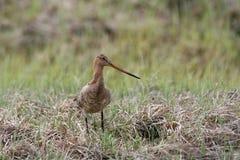 Agachadiza Bar-tailed Imagen de archivo