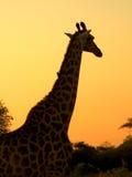 agaiinst长颈鹿现出轮廓的日落 库存图片