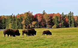 Buffalo In Late Afternoon Royalty Free Stock Photo
