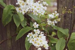 Against the background of an old wooden fence in the style of vintage stretched flowering branches of cherry Prunus Padus with. Branches of flowering cherry Royalty Free Stock Photos