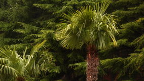 Against the background of pine forest two palm trees. Trees of southern and northern countries stock footage