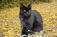 Against a background of yellow leaves a black cat Royalty Free Stock Photo