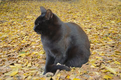 Against a background of yellow leaves a black cat Royalty Free Stock Photos