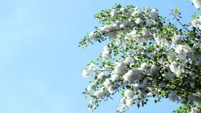 Against the blue sky, large, green poplar branches, all densely covered with bundles of fluff, like cotton tubers.  stock video footage