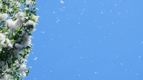 Against the blue sky, large, green poplar branches, densely covered with bundles of fluff. Light, white poplar fluff. Carried by wind currents. Fluff flies in stock footage