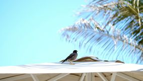 Against the blue sky and palm trees, on the roof of a beach umbrella an exotic bird sits. Close-up.  stock footage