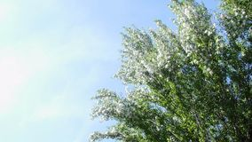 Against the blue sky, in the rays of the sun, large, green poplar branches, all densely covered with bundles of fluff. Against the blue sky, large, green poplar stock video footage