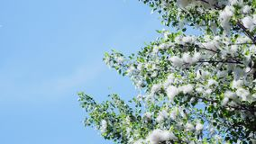 Against the blue sky, in the rays of the sun, large, green poplar branches, all densely covered with bundles of fluff. Like tubers of cotton stock footage