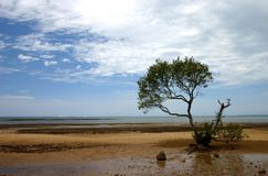 Against the Elements. Lone mangrove tree on foreshore Stock Photos