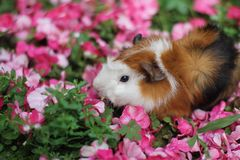 Against hair guinea pig. In sunny day in summer among pink flowers royalty free stock photography