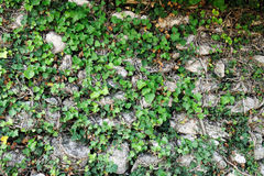 against ivy stone wall Fotografering för Bildbyråer