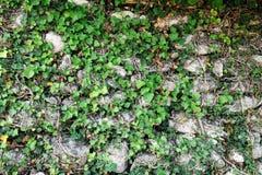 against ivy stone wall 库存图片