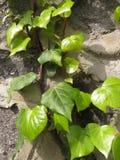 against ivy stone wall royaltyfri foto
